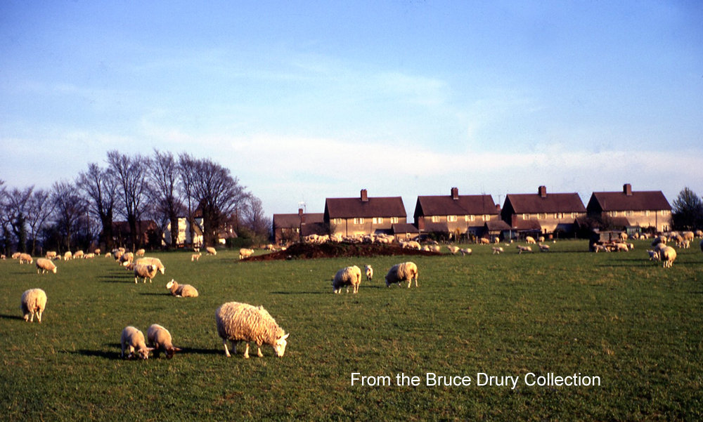 crawley-end-chrishall-sheep-grazing